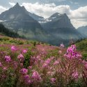 Pink flowers bloom in a meadow on a partly cloudy day in Glacier National Park