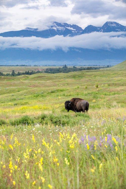 Wild bison at Bison Range in Glacier Country, Montana