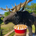A caramel latte from Royal Moose Coffee Company held in front a moose statue in Clay County, Florida.