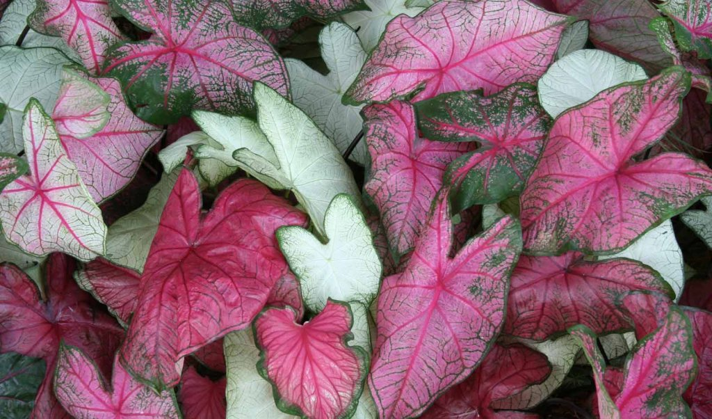 "Pink and green caladiums from ""The Caladium Capital of the World,"" Sebring, Florida"